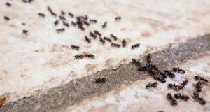 وصفة ستخلصك نهائيا من النمل بالمنزل مع ضمان عدم عودته مجربة علميا وبدون رائحة